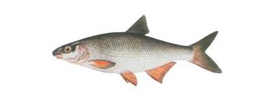 рыбец каспийский ловля